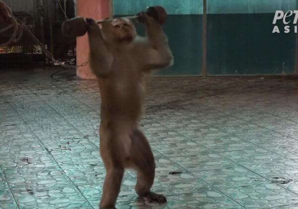 """泰國布吉島的猴子是如何被""""訓練""""的?"""