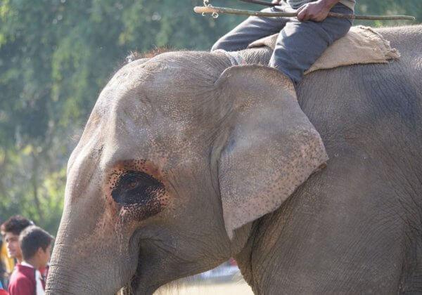 尼泊爾大象節再曝虐待動物 讚助商紛紛停止合作