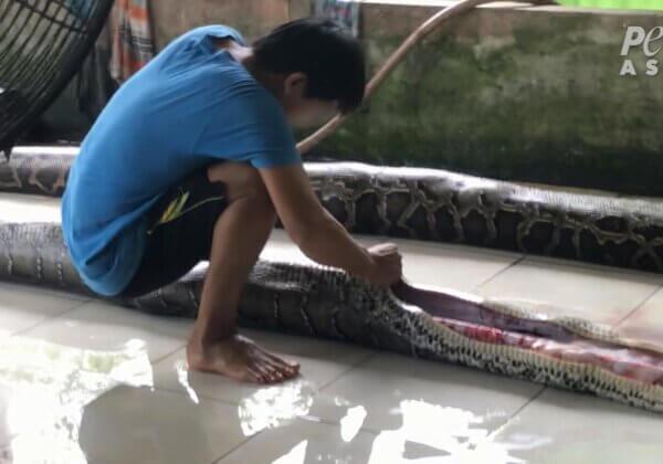 越南蟒蛇被充氣致死 只為「奢侈」品提供珍異皮革